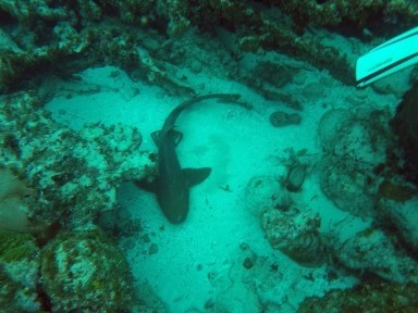 nurseshark (384x288)